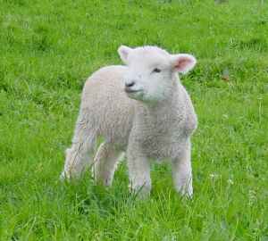 the_lamb